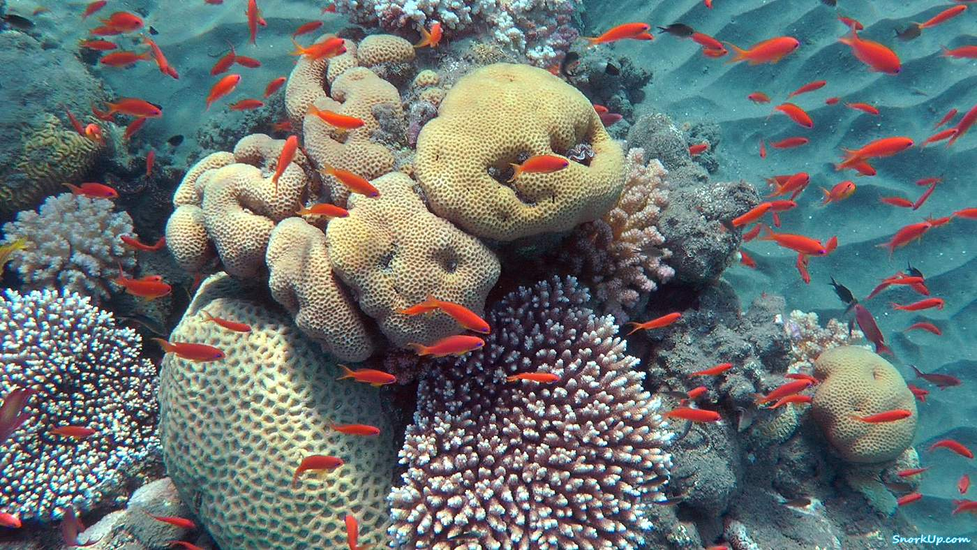 Антиасы лирохвостые (лат.Pseudanthias squamipinnis, анг.Sea goldie)